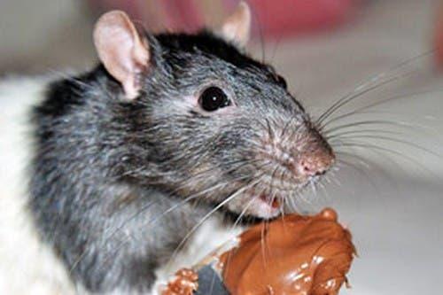 cómo eliminar las ratas con remedios caseros
