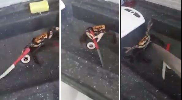 Un cangrejo se bate a duelo con un cocinero