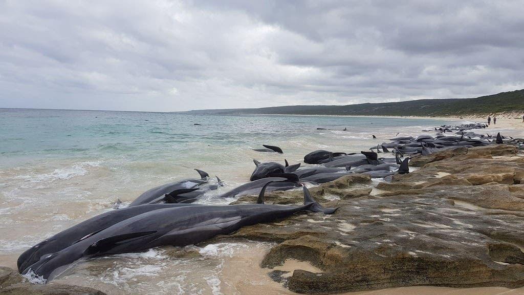 Más de 150 calderones varan en Australia