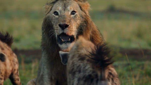 León era acorralado por 20 hienas hasta que un