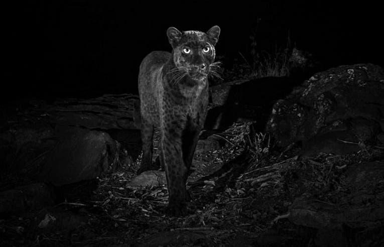 Fotografían a leopardo negro, el primero en 100 años