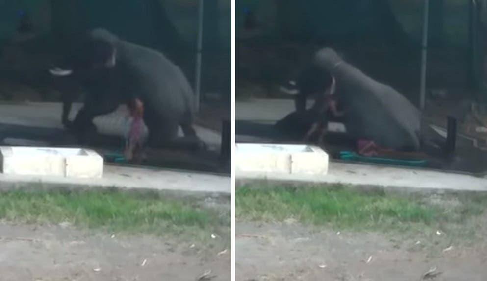 Hombre muere aplastado por elefante tras agredirlo con manguera