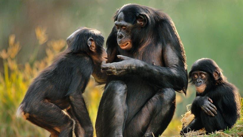 Científicos chinos implantan genes de cerebros humanos en monos