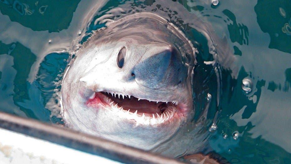 Publican curiosa imagen de un tiburón blanco