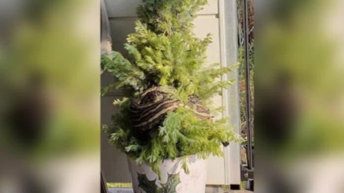 Mujer halla a una pitón enredada en su árbol de Navidad