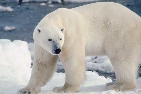 Vida de oso polar corre peligro por pinta sobre su espalda