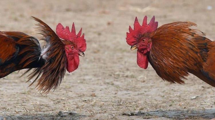 Gallo de pelea mata a su dueño en la India