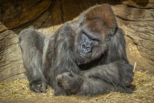 Dos gorilas de un zoológico dan positivo por covid-19