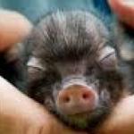 Furor por los mini pigs: ¿cuánto salen las pequeñas mascotas?