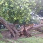 Enorme árbol se partió al medio y cayó sobre casa de barrio Los Pinos: los vecinos habían hecho varias denuncias